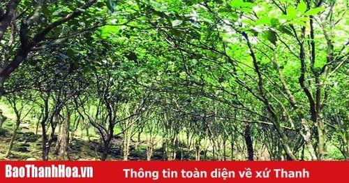 Huyện Bá Thước khôi phục, phát triển mô hình cây quýt hôi