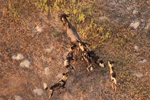 Màn rượt đuổi đầy kịch tính giữa đàn chó hoang châu Phi và linh dương đầu bò