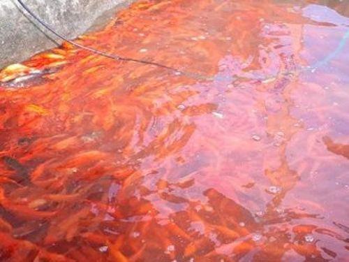 Làng nghề nuôi cá chép đỏ tất bật trước ngày 23 tháng Chạp