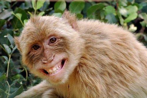Giao công an bắn con khỉ cắn nhiều người ở Sóc Trăng