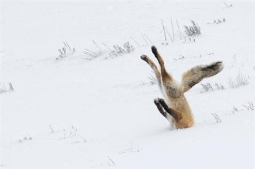 Ảnh động vật: Tư thế 'khó đỡ' của cáo đỏ