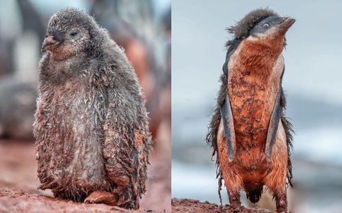 Nam Cực tăng nhiệt, chim cánh cụt vùng vẫy trong bùn đất