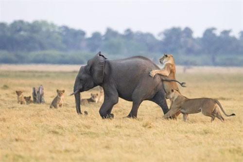 Nhắm voi con làm mồi, đôi sư tử 'ê chề' phút cuối