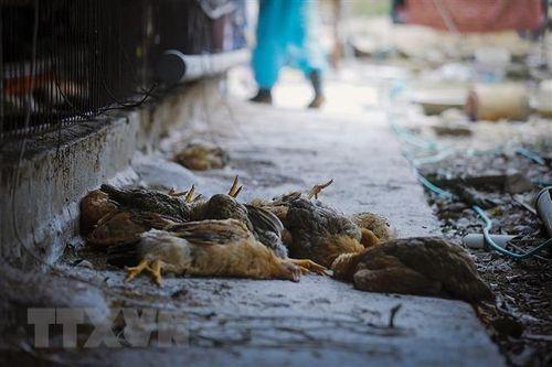 Hà Nam xuất hiện ổ dịch cúm gia cầm A/H5N6 trên đàn vịt 770 con