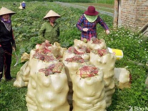 Tin NN miền Trung: Lãi 100 triệu đồng/ha từ trồng bí đỏ ven sông