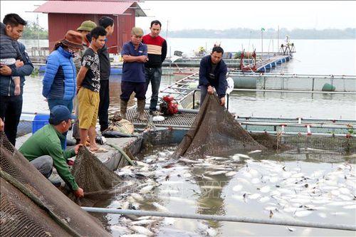 Xác định nguyên nhân hơn 100 tấn cá lồng chết tại Hải Dương