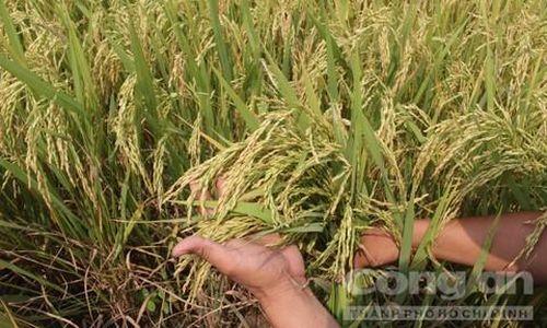 Vụ giống lúa Thiên Đàng: An Giang đề nghị 12 tỉnh, thành phối hợp ngăn chặn