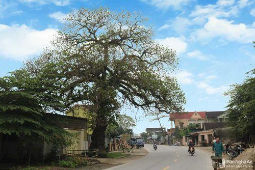 Sau 3 ngày đêm cháy âm ỉ, cây bàng hàng trăm tuổi ở Nghệ An vẫn xanh tốt