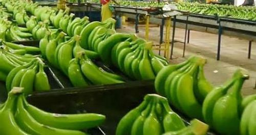 TTC Sugar tham gia trồng chuối xuất khẩu