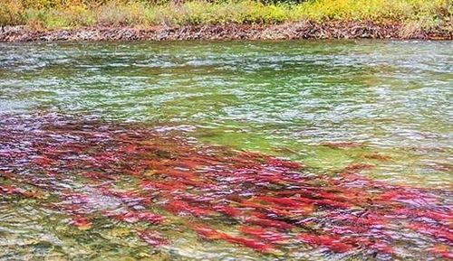 Sự thật đằng sau hành trình 4000 km di cư của cá hồi đỏ về cửa sông sinh sản