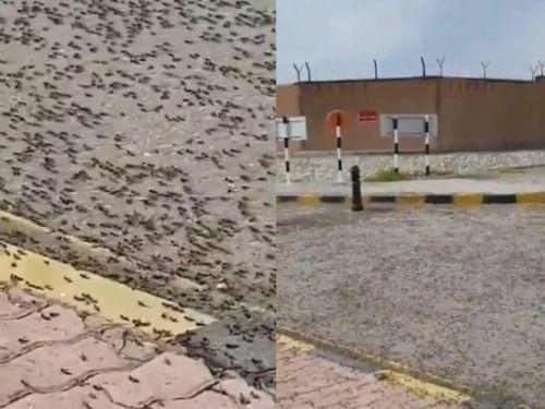 Dân mạng sốc với video bầy châu chấu hàng triệu con xâm chiếm đường phố