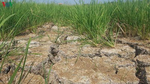 Long An nỗ lực ngăn mặn cứu hơn 70.000 ha lúa, thanh long