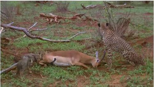 Linh dương giả chết đánh lừa cả đàn báo săn lẫn linh cẩu