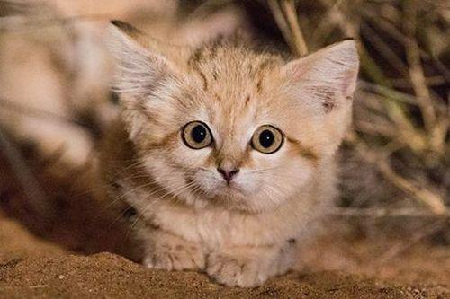 Những loài động vật nhỏ nhưng thích nghi cực tốt với sa mạc khắc nghiệt