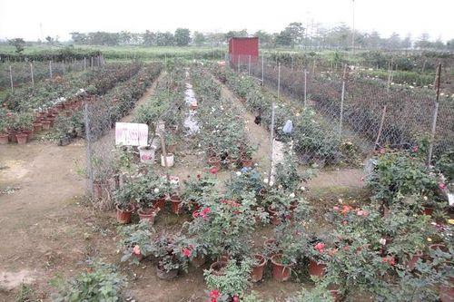 Phong tỏa thôn Hạ Lôi, huyện Mê Linh: Đề xuất hỗ trợ người trồng hoa