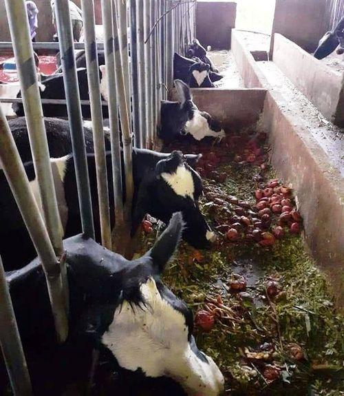10 con bò sữa bị sét đánh chết ngay tại máng ăn