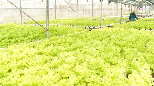 Vùng rau Quảng Yên tăng sản lượng và chất lượng