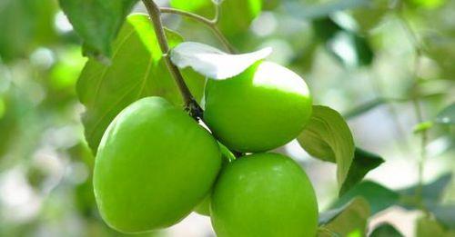 Táo căng mọng, ngọt lịm ở vùng đất 'khát' Ninh Thuận