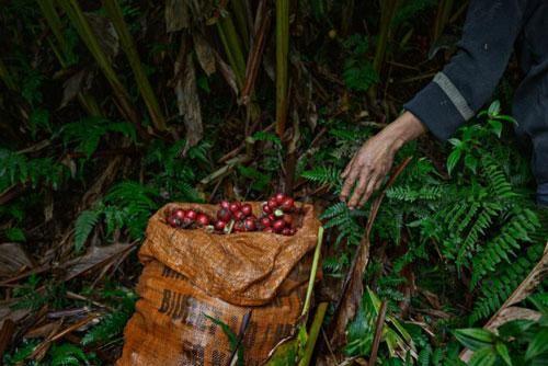 Theo chân phóng viên báo Tây thu hoạch thảo quả tại vườn quốc gia Hoàng Liên