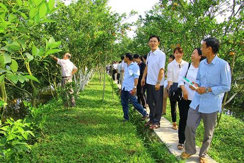 Lai Vung nỗ lực khôi phục lại vườn cây có múi