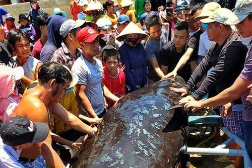 An táng cá Ông nặng gần 1 tấn dạt vào bờ biển