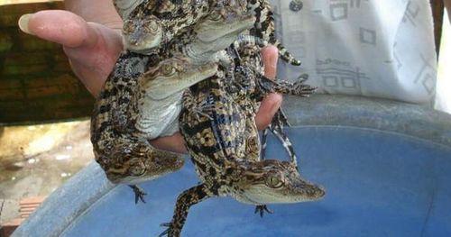 Cá sấu rớt giá, chỉ còn 50.000 đồng/kg vẫn không ai mua