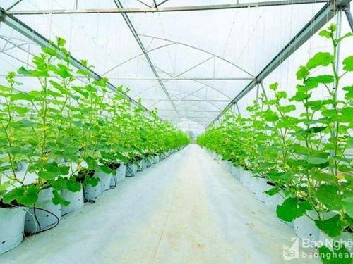 Tin miền Trung: Nông dân Thanh Chương trồng thành công dưa lưới