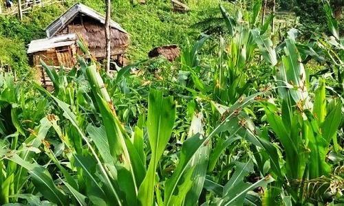 Thanh Hóa: Nguy cơ thiệt hại lớn vì hàng triệu con châu chấu tàn phá hoa màu