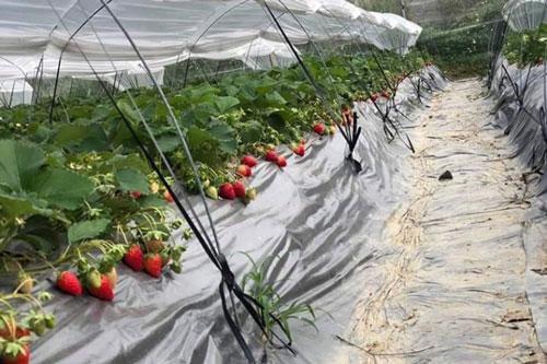 Thạc sỹ khoa học 28 tuổi và câu chuyện 'bỏ phố về làng' để trồng dâu tây