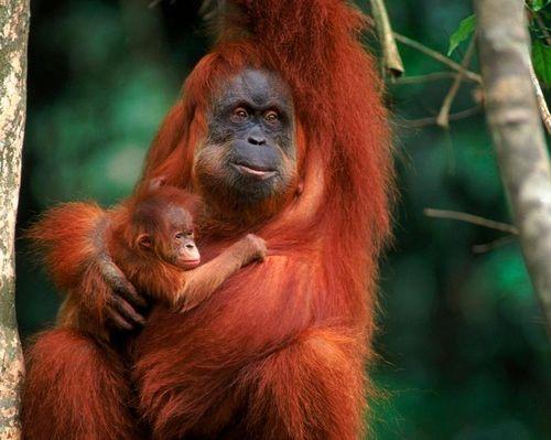 Dịch vụ máy học cứu loài đười ươi Orangutan trước nguy cơ tuyệt chủng