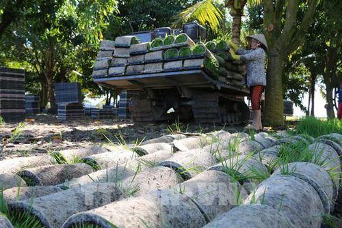 Ứng dụng cơ hóa giảm đến 70% lượng giống lúa