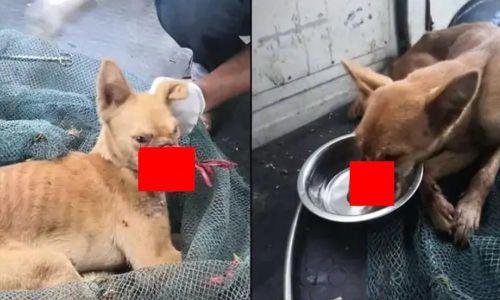 Chú chó bị dán băng dính quanh miệng suốt 2 tuần đã may mắn được cứu sống