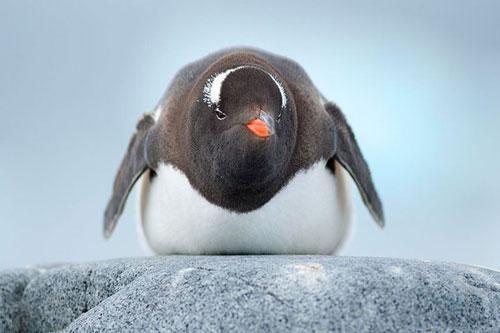 Vì sao lông của chim cánh cụt không bao giờ bị đông đá?