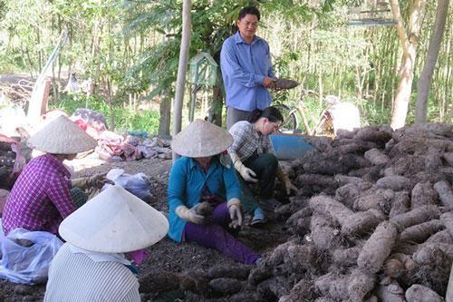 Long An: 'Hái ra tiền' nhờ trồng khoai mỡ trên đất phèn