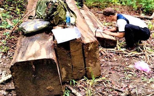 Đắk Lắk: Phát hiện vụ khai thác gỗ trái phép quy mô lớn