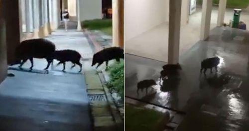 Đàn lợn rừng thản nhiên lục lọi thùng rác khu dân cư trong thành phố