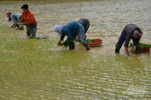Thời vụ và kỹ thuật chăm sóc lúa Japonica vụ mùa