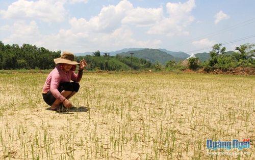 Nghĩa Hành: 1.000ha lúa và hoa màu có nguy cơ bị khô hạn