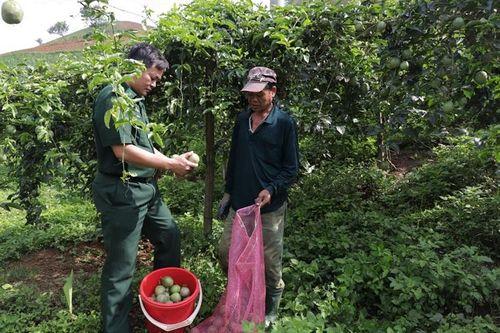 Giúp dân thoát nghèo từ cây chanh leo