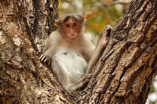 Ông lão nhặt củi bị đàn khỉ hung dữ ném gạch đến chết