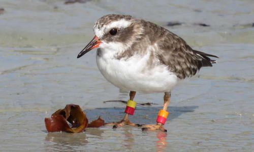 Cả đàn chim quý hiếm biến mất gần hết giữa dịch Covid-19 ở New Zealand