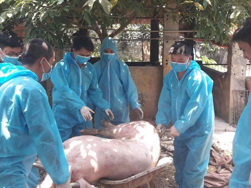 Nguy cơ tái phát dịch tả lợn châu Phi: Nhiều lỗ hổng khi tái đàn