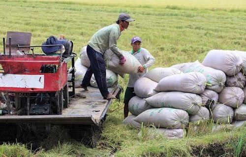 Giá lúa gạo hôm nay ngày 18/07: Trong nước nhích nhẹ, giá xuất khẩu ổn định