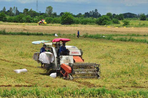 Nông dân 'héo ruột' vì lúa ngã rạp do mưa giông