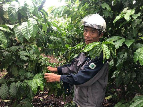 Chăm sóc cây cà phê mùa mưa: Lời khuyên từ bác nông 25 năm kinh nghiệm