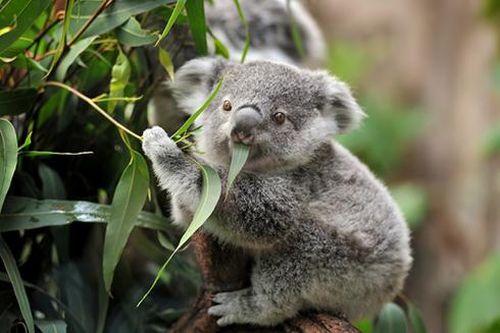 Những loài động vật 'siêu' đáng yêu chỉ có thể tìm thấy ở Úc
