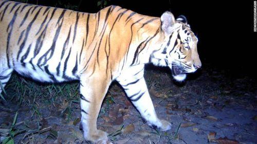 Hổ quý xuất hiện ở Thái Lan làm nhen nhóm hy vọng phục hồi