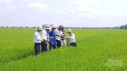 Bạc Liêu: Doanh nghiệp tham gia liên kết sản xuất lúa gạo theo chuỗi