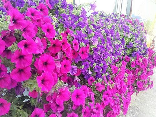 Các loài hoa trồng ở ban công đẹp nhất được mọi người lựa chọn để nhà mình nổi bật nhất khu phố