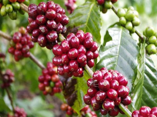Giá cà phê hôm nay 9/8: Tăng nhẹ trở lại phiên cuối tuần